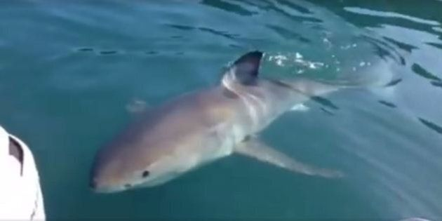 Curious Great White Shark Just Wants To Say Hello To Some Kiwi