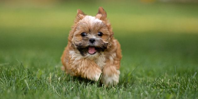 A 3-month old Shorkie Puppy running straight at the camera in a green grass yard. Shorkies are considered a designer breed. They are a mix of a Shih Tzu and Yorkshire terrier.