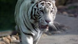 Tiger Mauls Zookeeper To Death In 'Freak Accident' At UK