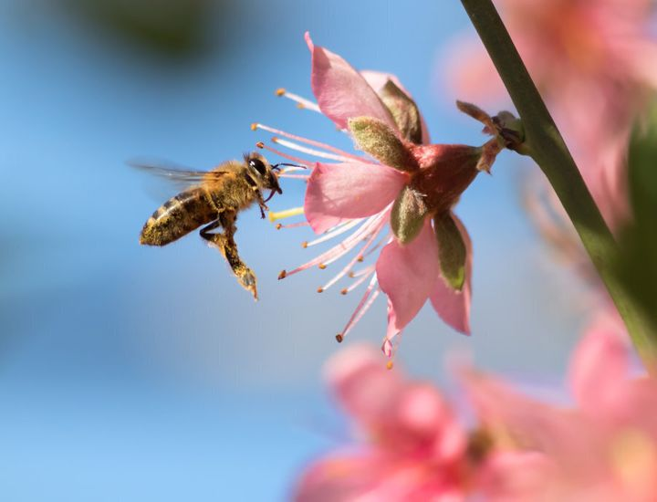 Bee pollen is food for young bees and is approximately 40 percent protein.