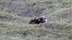 Bear Rolls Down A Hill Like A Great, Big, Deadly