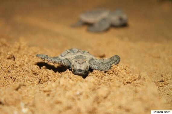 The First Baby Sea Turtles of 2016 Hatch at Mon Repos