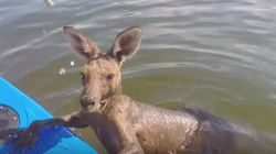 This Kangaroo's Wet And Wild Outing Left Him In A Pool Of