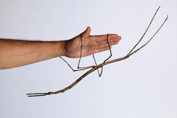 Giant Stick Insect Babies In World-First Captive Breeding Program At Museum