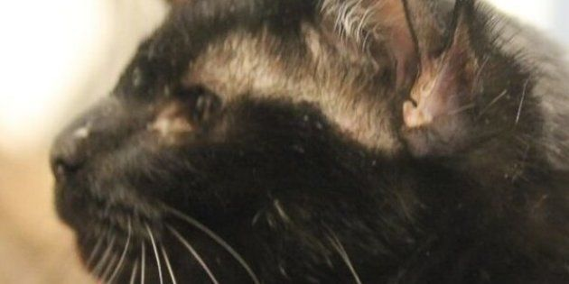 This 3-year-old cat named Batman was born with two sets of ears.