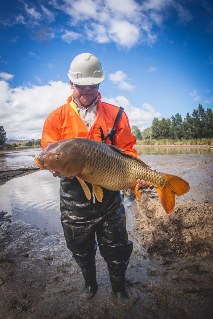Aquatic Ecologist, Matt Beitzel, removes a carp from Upper Stranger Pond, Canberra.