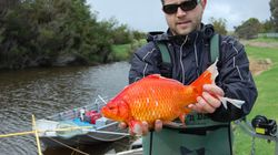 Giant Goldfish Are Real And They're Taking Over Australian
