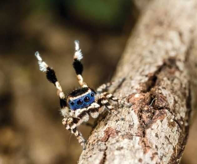 Meet the Masked Peacock Spider.
