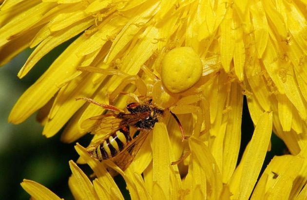 The Crab Spider is the classic 'sit and wait' predator. Imagine, all you wanted to do was take some delicious...