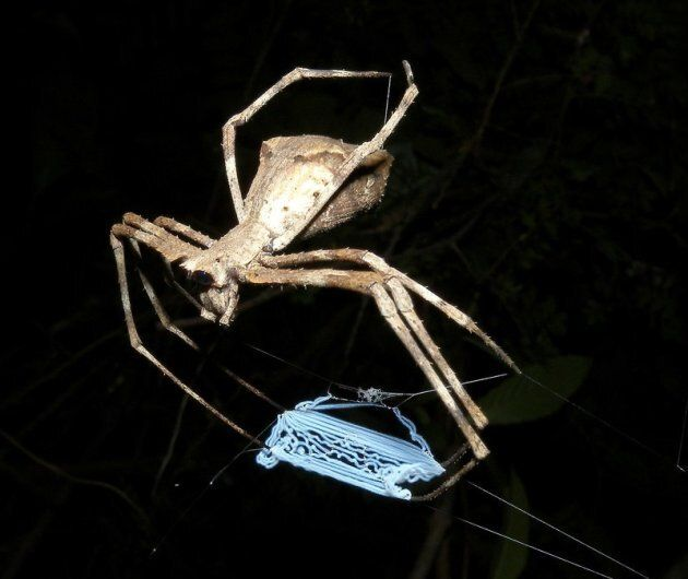 The Net casting spider - also known as the ogre-faced spider.