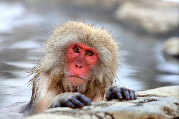 Unlike this monkey, you're probably not blushing anywhere near as badly as you