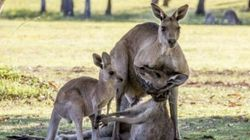 This Kangaroo Farewell Photo Could Be Much Creepier Than You