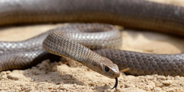 A deadly Australia eastern brown snake -- which has enough venom to kill 20 adults with a single bite...