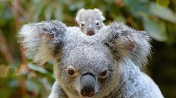 Meet The Adorable Baby Koala We're Totally Nuts