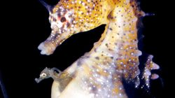Seahorse Dads And Pregnant Humans Have A Lot To Talk
