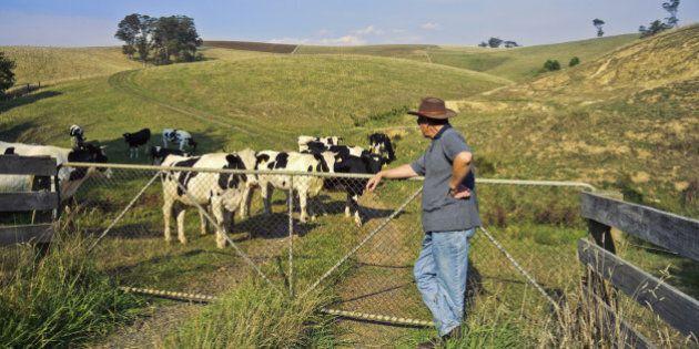 Dairy farmer checking his Holstein cattle at Neerim South, Gippsland, Victoria, Australia