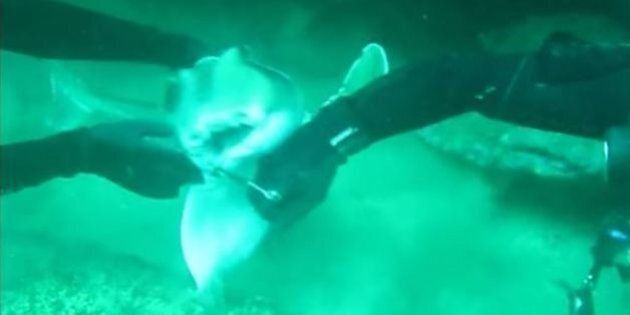 Video Shows Sharks Need Friends Too As Divers Remove