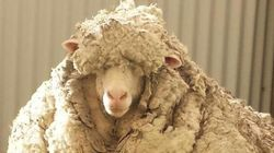 Woolly Sheep Gets Haircut 5 Years In The Making, To Save Its