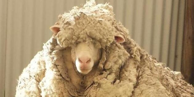 RSPCA Shears Woolly Sheep To Save Its
