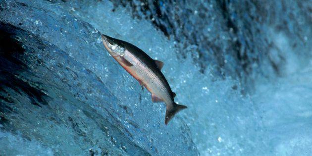 Red salmon swimming upstream, Katmai,