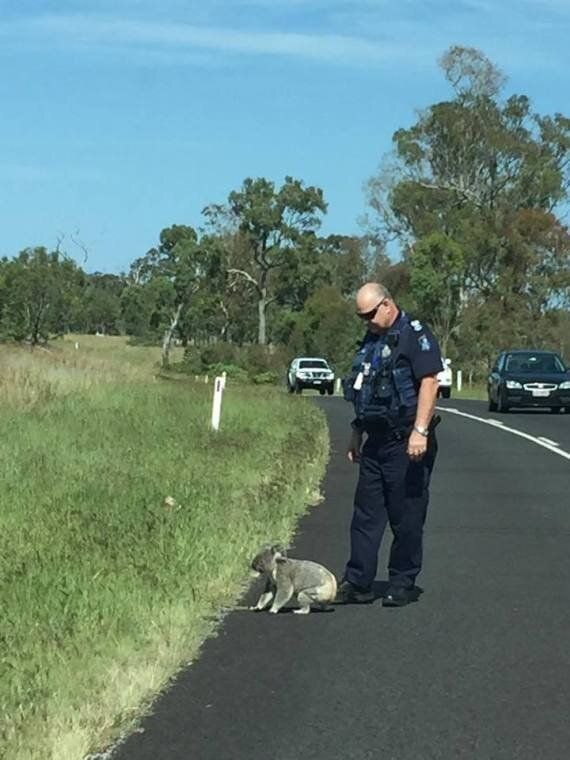 Policeman Escorts Koala Across Brisbane Valley Highway To
