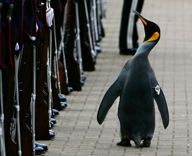 King penguin Nils Olav walks past soldiers from the Norwegian King's Guard after he was given a Knighthood...