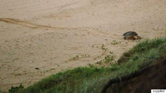 Turtle Egg Laying Season At Mon Repos