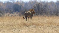 Lion Kills Zimbabwe Tourist Guide In Cecil's