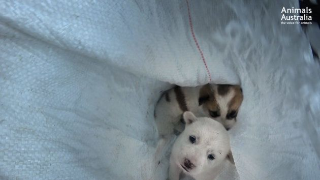 Young puppies are separated from their mother and placed in a sack by Balinese dog