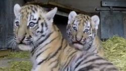 Watch Adorable Tiger Cubs Turn Into Fearsome Big Cats In Two