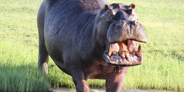 Hello, hippo.