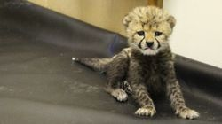 Abandoned Cheetah Cub Finds A Friend In Its