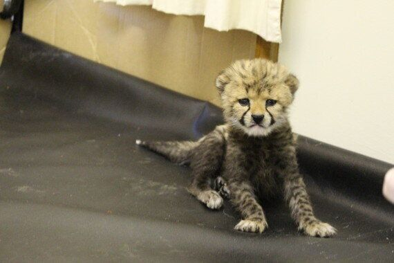 Cheetah Cub At Taronga Western Plains Zoo Abandoned By Mum But Makes Friends With