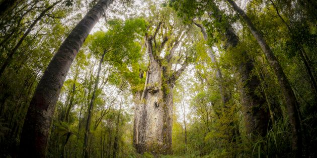 Old trees in New Zealand provided data, along with corals, ice cores and