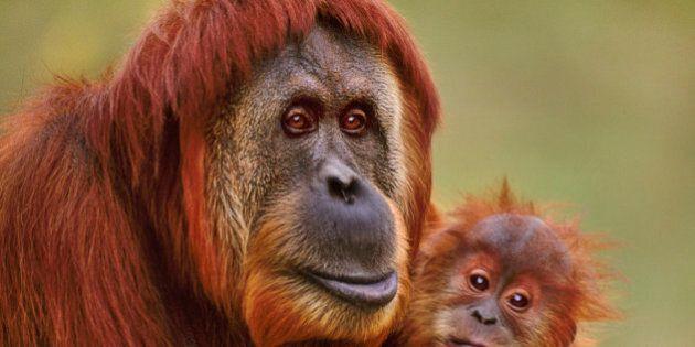Sumatran orangutan with baby, Pongo abelii, Native to Sumatra