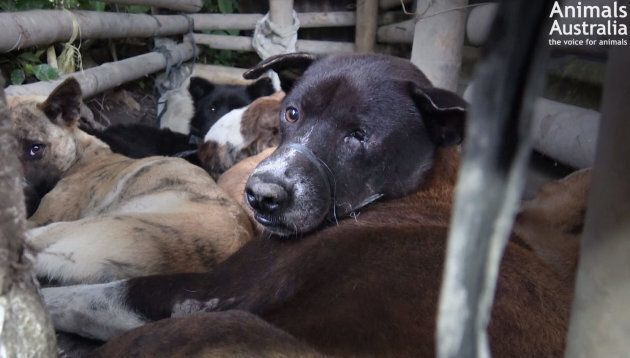 Dogs are bound and held in a pen in Bali before being