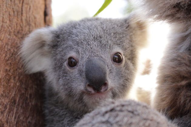Meet Taronga's Newest Baby Koala,