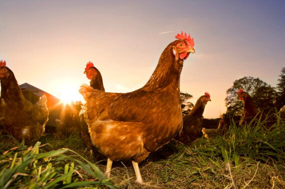 'Free Range' Eggs Now Have A New