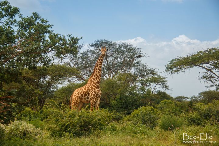 Last year, based on the latest research findings, the IUCN escalated the giraffe's classification from 'least concern' to 'vulnerable to extinction'.