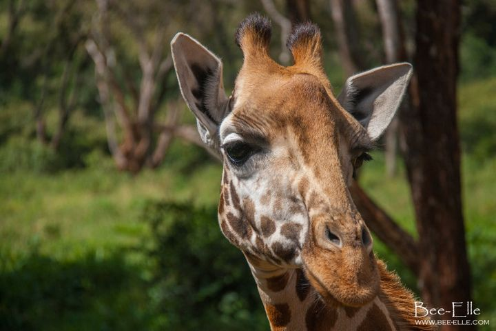 Four different species of giraffe are now thought to exist: the southern, the Maasai, the reticulated and the northern giraffe. If this species variation is recognised, 3 out of 4 giraffe would be rendered endangered or critically endangered.