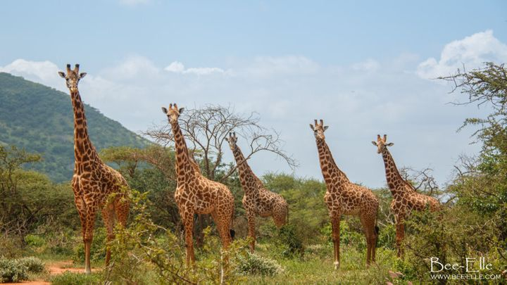 Further threats to the giraffe include trophy hunting and poaching for their tails, skin and hair for cultural practices, jewellery and traditional medicine.
