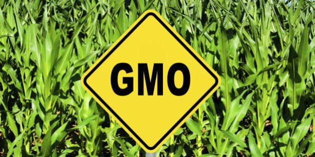 GMO yellow sign with the corn crop in the background