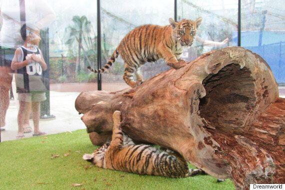 Tiger Cubs Adira And Akasha Settle Into Their New