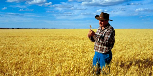 Wheat farmer checking crop at Warracknabeal, Wimmera region, Victoria,