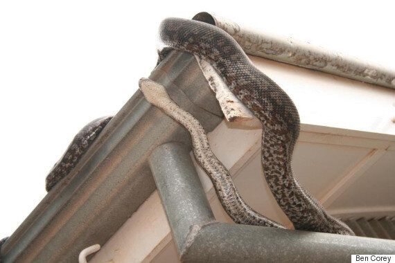 Carpet Pythons Are Living In Attics And Owners Should Be Happy About
