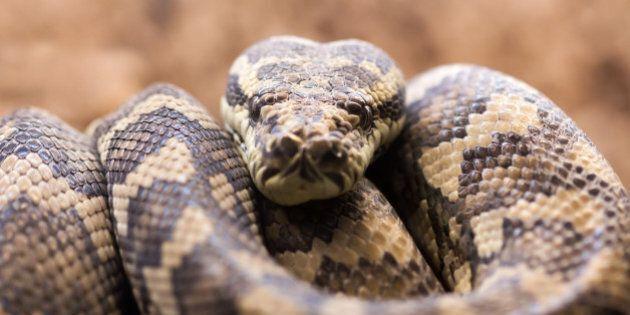 Carpet python - Morelia spilota