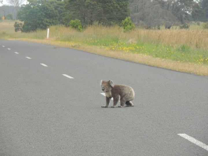 Koalas and roads don't mix.
