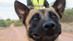 Ivory-Sniffing Dog Duo Nabs Poacher In Impressive First