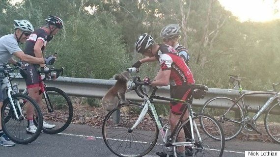Thirsty Koala Flags Down American Cyclists For A