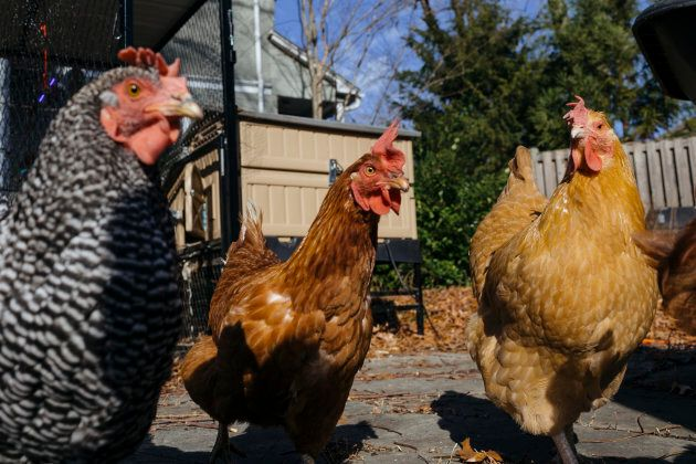"""These aren't Peter's chickens but they're very handsome (should that be """"hensome""""?) so we henbedded them in the story anyway."""